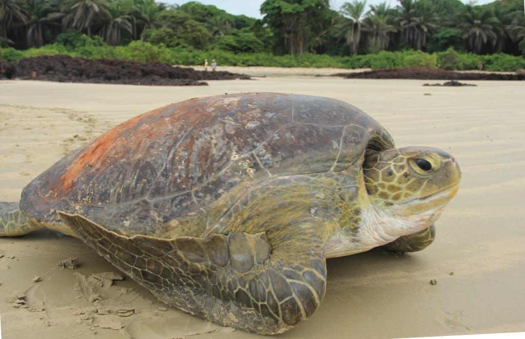 Projeto de consolidação para conservação das tartarugas marinhas no arquipélago dos bijagos